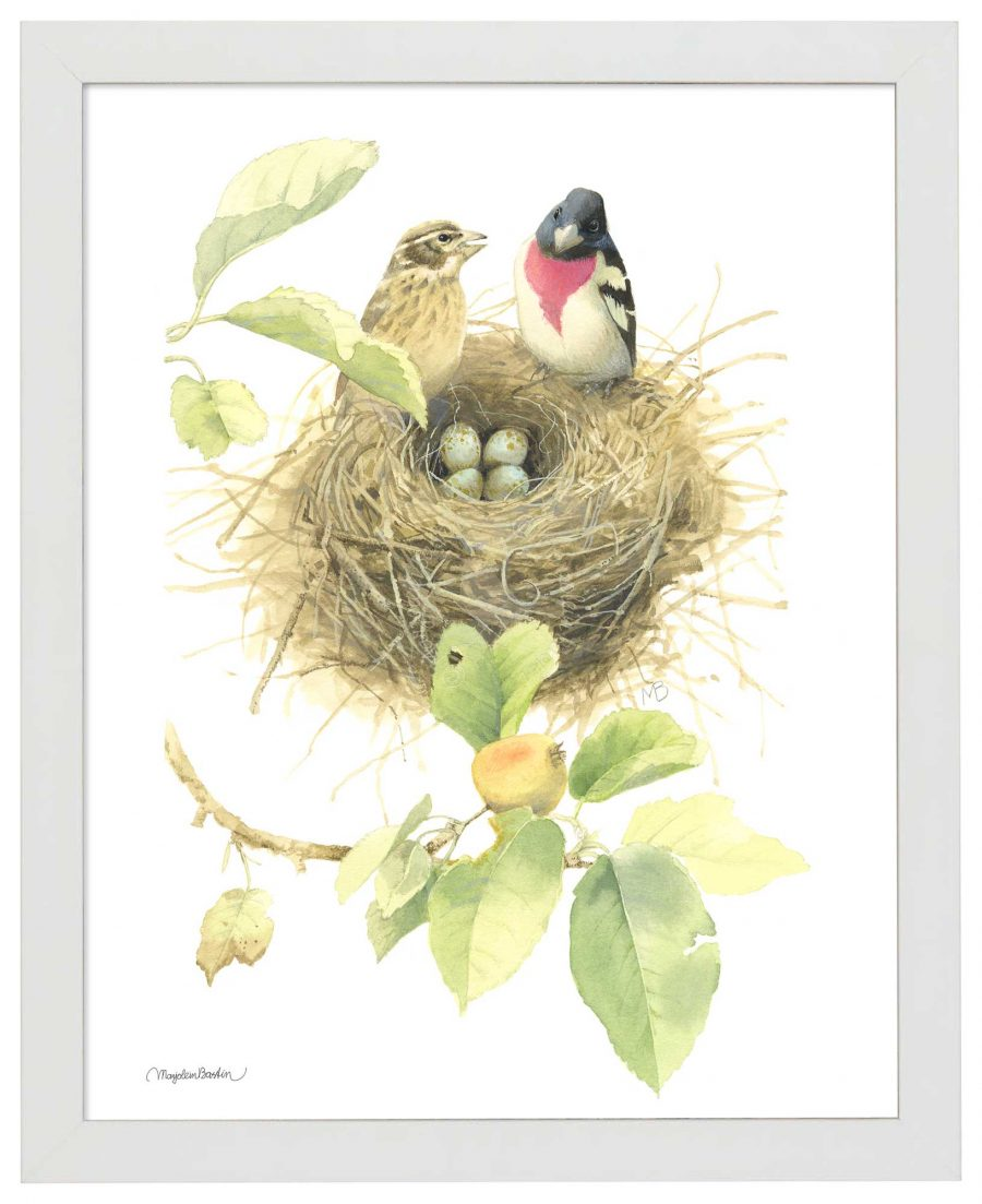 Starting a Family of Rose Breasted Grosbeaks - Art Prints